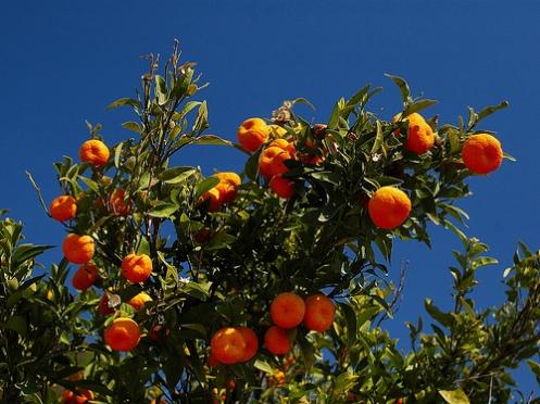 naranjo en murcia