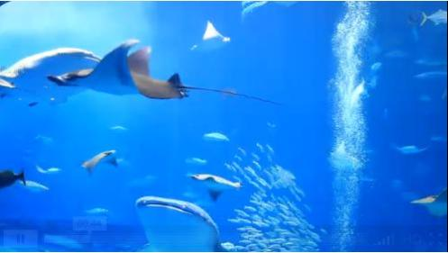 okinawa churauimi acuarium